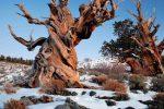 Кое е най-старото дърво в света