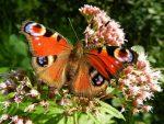 Защо летят пеперудите?