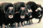 Какво е овцебик?