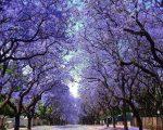 Пауловния – дървото на щастието